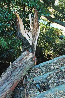 樹齢80年超のヒバの木