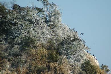 鵜のフンで白くそまった樹木