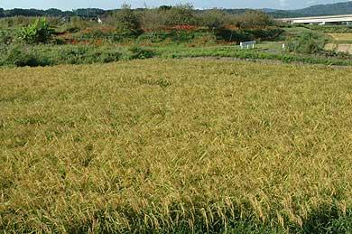 モチ米の田んぼ